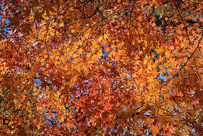 Photograph - Fall Leaves Against A Blue Sky by Kathleen Bishop