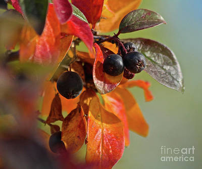 Photograph - Fall Leaves And Berries by Ann E Robson