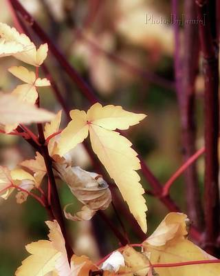 Photograph - Vine Maple by Jamie Johnson