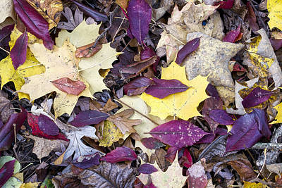 Photograph - Fall Leaves - Uw Arboretum - Madison  - Wisconsin by Steven Ralser