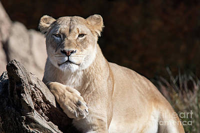 Photograph - Fall Lioness by Ed Taylor