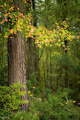 Photograph - Fall Maple 01 by Karen and Phil Rispin