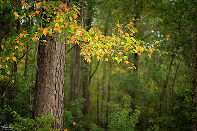 Photograph - Fall Maple 02 by Phil and Karen Rispin