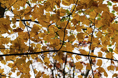 Photograph - Fall Maple 110417 by Mary Bedy