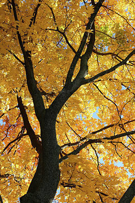 Photograph - Fall Maple 23 by Mary Bedy