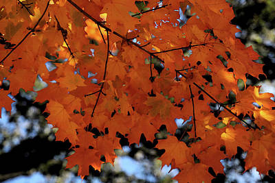 Photograph - Fall Maple Branch by Mary Bedy