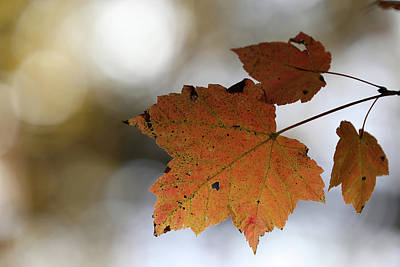 Photograph - Fall Maple Leaf 2017 by Mary Bedy