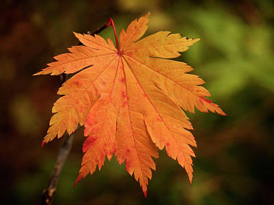 Photograph - Fall Maple Leaf - 365-231 by Inge Riis McDonald