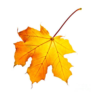 Paint Brush Rights Managed Images - Fall maple leaf Royalty-Free Image by Elena Elisseeva