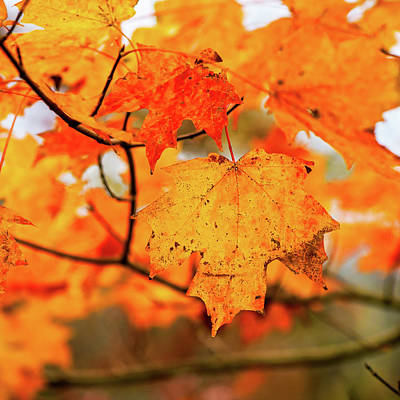 Photograph - Fall Maple Leaf by Joe Shrader