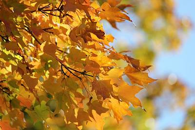 Photograph - Fall Maple Leaves  by Classically Printed