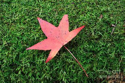 Fall Maple On Moss Art Print