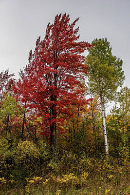 Photograph - Fall Maple by Paul Freidlund