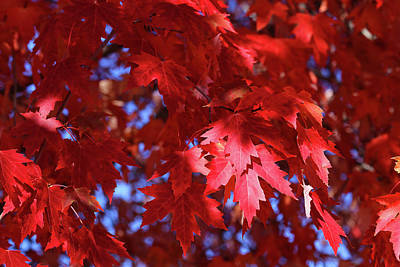 Photograph - Fall Maple Red 10 by Mary Bedy