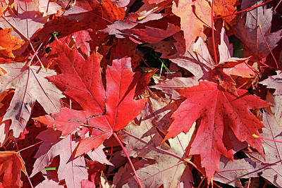 Photograph - Fall Maple Red 3 by Mary Bedy