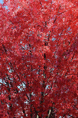 Photograph - Fall Maple Red by Mary Bedy