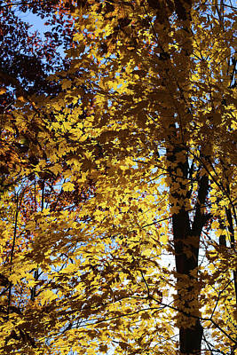 Photograph - Fall Maple With Sunlight 2 by Mary Bedy