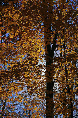 Photograph - Fall Maple With Sunlight by Mary Bedy