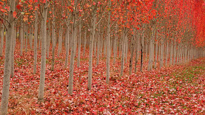 Photograph - Fall Maples by Jean Noren