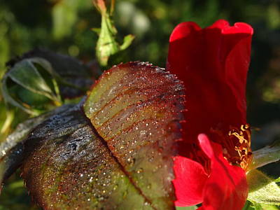 Photograph - Fall Morning Rose by Amanda Balough