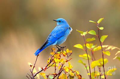 Photograph - Fall Mountain Bluebird by Adam Jewell