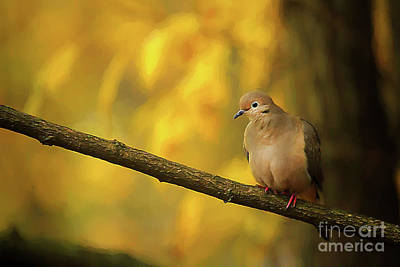 Photograph - Fall Mourning Dove by Darren Fisher