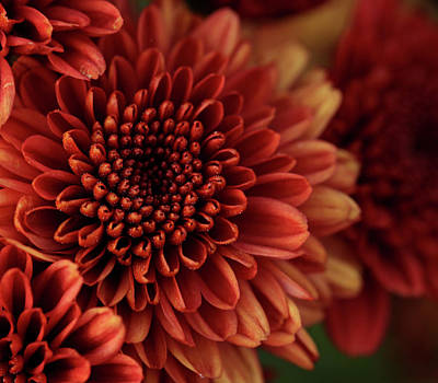 Photograph - Fall Mum Macro by Judy Vincent