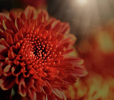 Photograph - Fall Mum With Light Flare by Judy Vincent