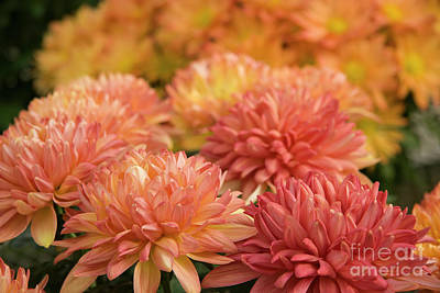 Photograph - Fall Mums by Jill Lang