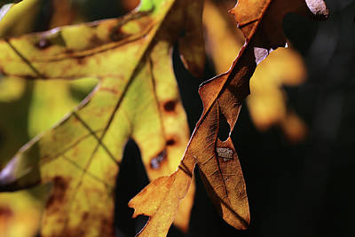 Photograph - Fall Oak Leaf Portrait  by Mary Bedy