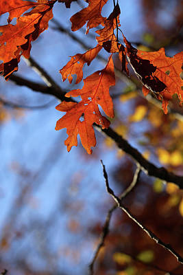 Photograph - Fall Oak Leaves With Twig by Mary Bedy