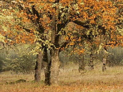 Photograph - Fall Oaks - 365-239 by Inge Riis McDonald