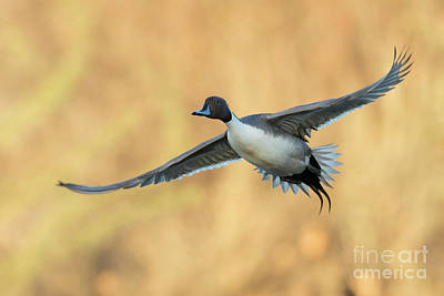 Door Locks And Handles Rights Managed Images - Fall Pintail Royalty-Free Image by Bryan Keil