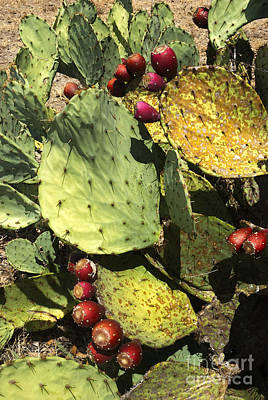 Photograph - Fall Prickly Pears  by Robert Anschutz