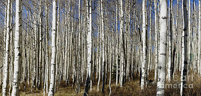 Photograph - Fall Quaking Aspens Panorama by Richard Lynch