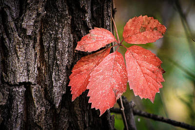 Photograph - Fall Red by Juli Ellen