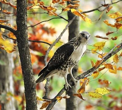 Digital Art - Fall Red-tailed Hawk by Fred Zilch
