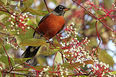 Photograph - Fall Robin by Debbie Oppermann