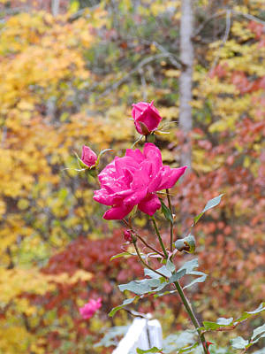 Photograph - Fall Roses by Nick Kirby