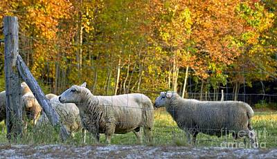 Photograph - Fall Sheep by Christopher Mace