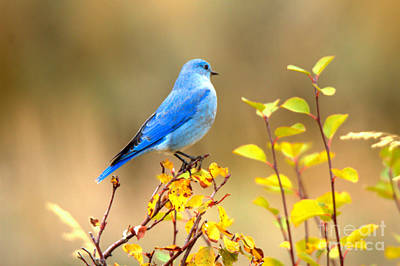 Photograph - Fall Teton Bluebird by Adam Jewell