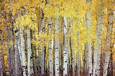Photograph - Fall Through The Aspens  by Saija Lehtonen