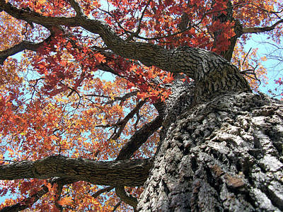 Photograph - Fall Tree by John Lautermilch