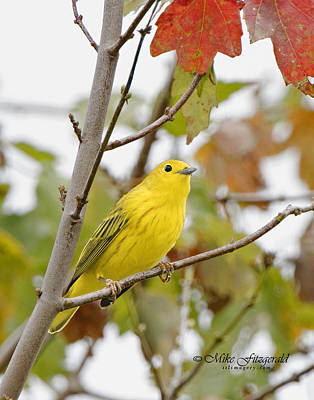 Photograph - Fall Warbler by Mike Fitzgerald