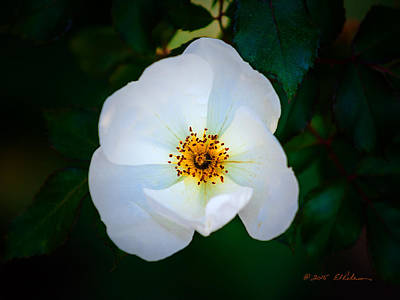 Photograph - Fall White Flower by Edward Peterson