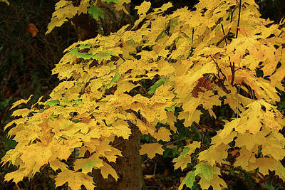 Photograph - Fall Yellow by Laurel Powell