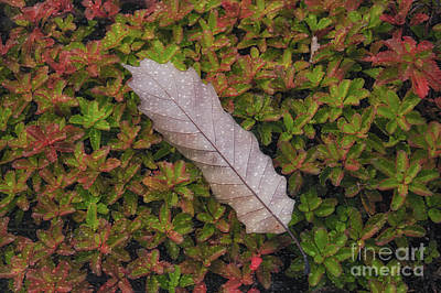 Photograph - Fallen Among You Too by Rachel Cohen