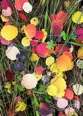Photograph - Fallen Aspen Leaves by Tim Gainey