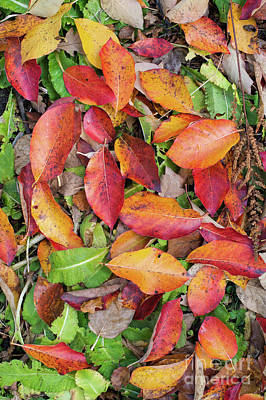 Photograph - Fallen Black Gum Wisley Bonfire Leaves by Tim Gainey