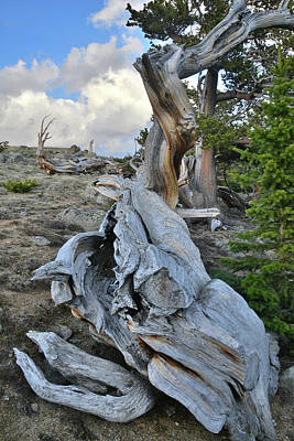Photograph - Fallen Bristlecone On Mt. Evans by Ray Mathis